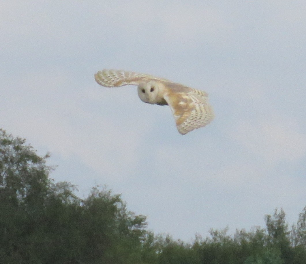 Barn owl on the hunt on Chat Moss, Irlam, UK